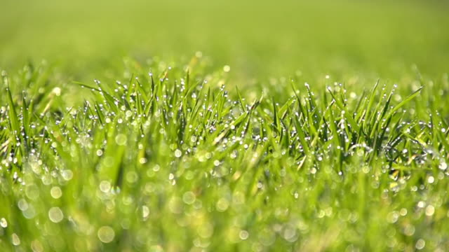 HD SUPER SLOW MOTION: Dew Sparkling On Green Grass video