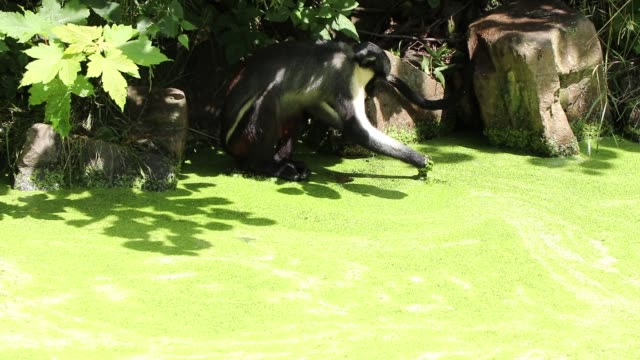 Diana monkey tries to remove the green coating from the swamp and wash in clean water. Cercopithecus diana flutters its water into the water and drinks from it