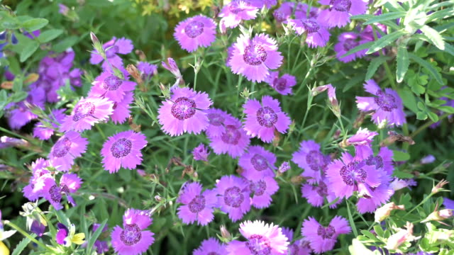 Dianthus flowers at summer.