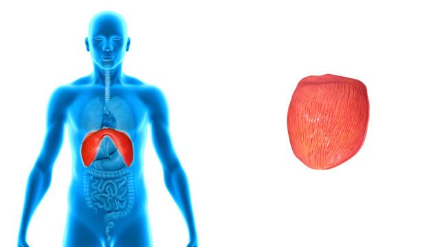 Diaphragm video