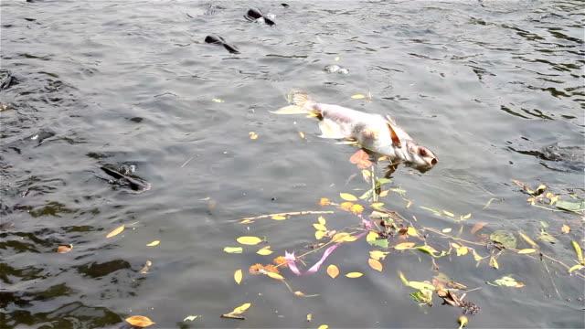 Die Fish and Garbage floating on the river Die Fish and Garbage floating on the river  dead animal stock videos & royalty-free footage