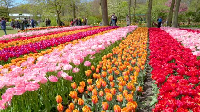 行で各色と異なる色のチューリップ - キューケンホフ公園点の映像素材/bロール