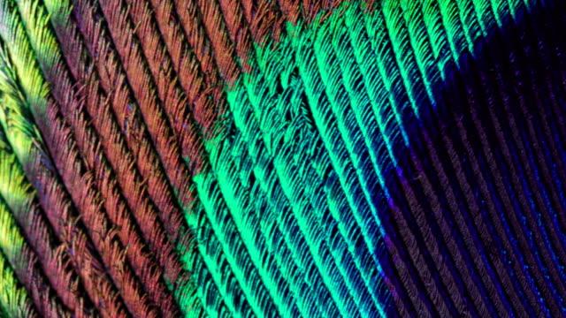 различные цвета тонких перьев на макросъемку - peacock стоковые видео и кадры b-roll