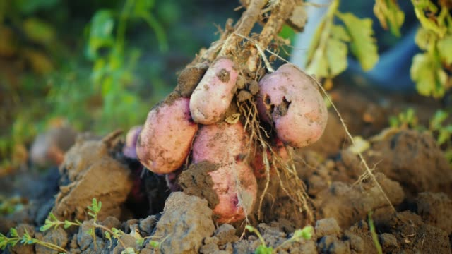 dig out a potato bush from the ground. farm products concept - patate video stock e b–roll
