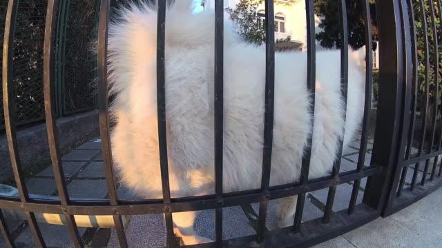vídeos de stock e filmes b-roll de dig white samoyed dog behind the fence - samoiedo