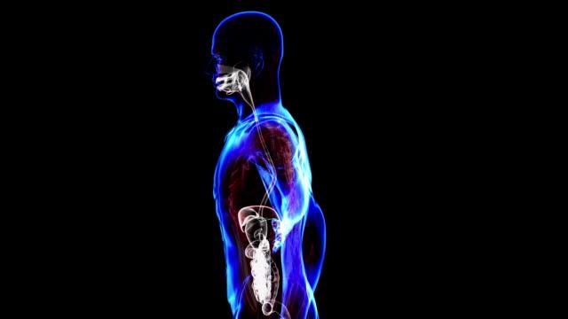 Digestive System video