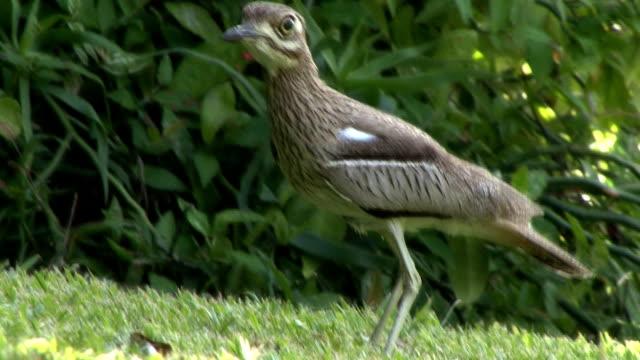 dikkop - 水鳥点の映像素材/bロール
