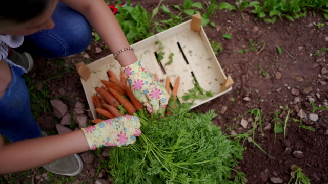 彼女の有機ビーガン農場からクレートで新鮮なニンジンを梱包勤勉な若い女性農家 ビデオ