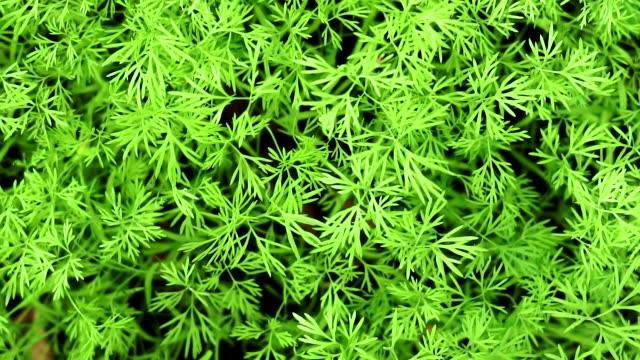 stockvideo's en b-roll-footage met dille close up achtergrond kweek planten - venkel