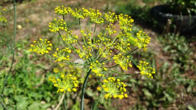 dill flowers close up on a sunny summer day, slow motion video 4k - albicocco video stock e b–roll