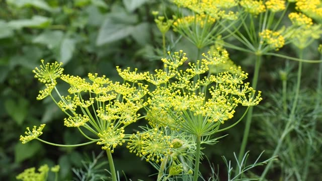 Dill yellow inflorescences with seeds. Selective focus,