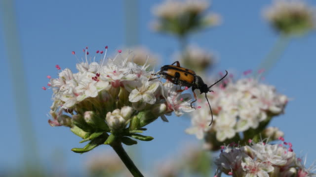 dimorphic flower longhorn beetle - four seasons filmów i materiałów b-roll