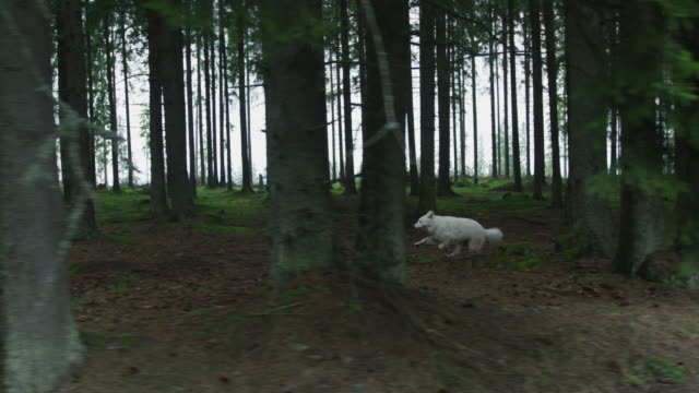 dire wolf running in a forest - mitologia video stock e b–roll