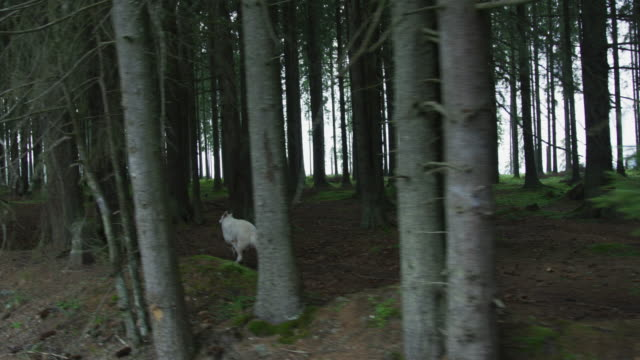 lupo terribile che corre nel bosco - mitologia video stock e b–roll