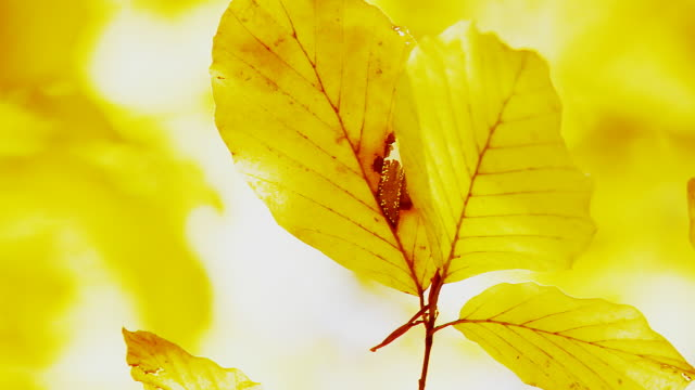 HD: Direct Sunlight Through Beech Leaves HD1080p: Direct sunlight falling through beech leaves in vibrant golden autumn colors. drenched stock videos & royalty-free footage