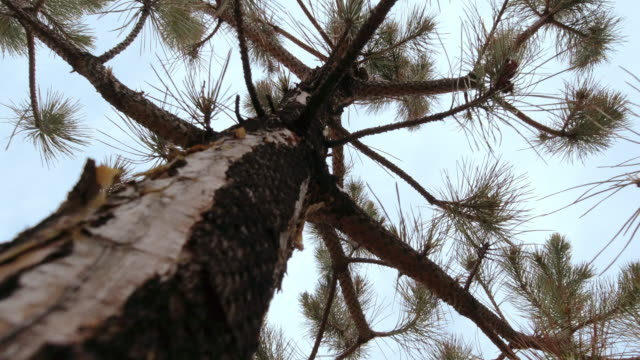 Directly Below Shot of a Pine Tree Trunk with Its Branches Swaying in the Wind Against a Clear Sky