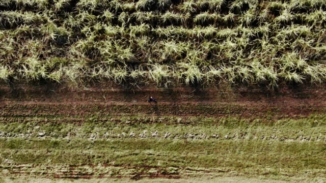 directly overhead aerial drone shot of a farmer walking along the edge of a sugar cane field in southern louisiana on a sunny day - stelo video stock e b–roll