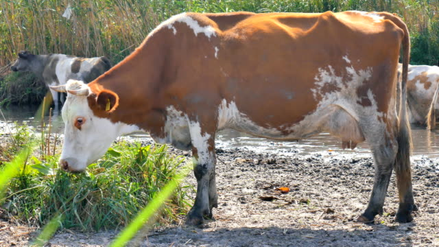 Dirty cow eats near the pond video