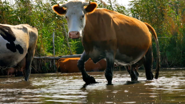 A dirty cow near the pond comes out of the water. video