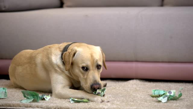 olydiga labrador hund tugga eurosedlar, liggande på golvet, pet dåligt uppförande - saknad känsla bildbanksvideor och videomaterial från bakom kulisserna