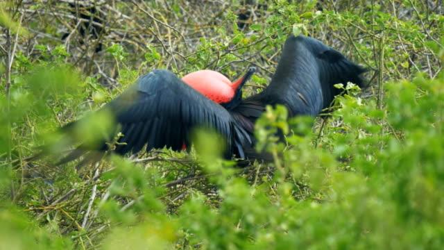 anzeigen von männlichen fregattvogels auf den galalagos inseln - fruchtwasserbeutel oder dottersack stock-videos und b-roll-filmmaterial