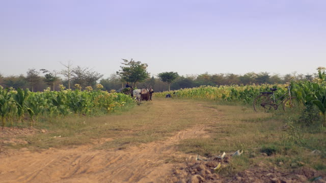 Distance view of an oxcart heavily loaded with tobacco leaves driving out of a tobacco field