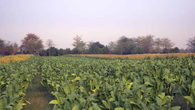 distance view of farmers picking tobacco leaves by hand in the field - nicotina video stock e b–roll
