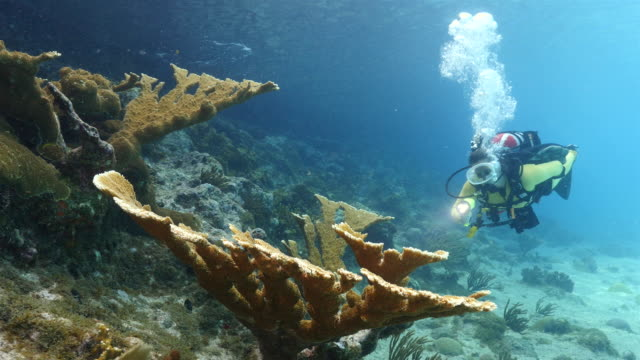 Diver at the coral reef in the Caribbean Sea around Curacao with elkhorn coral in foreground diver at scuba dive around Curaçao /Netherlands Antilles diving to the ground stock videos & royalty-free footage