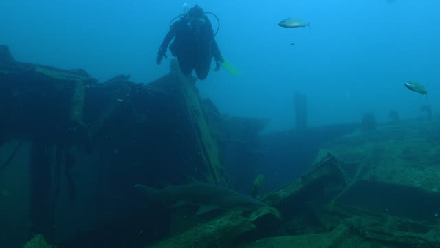 A Diver is looking at a Spotted ragged tooth shark - Sandtiger shark - Carcharias taurus- swimming in a wreck, NC, AUG 2016