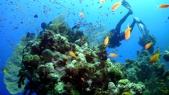 Diver Swims over Coral Reefs Diver Swims over Coral Reefs, underwater scene scuba diving stock videos & royalty-free footage
