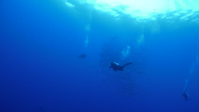 vídeos y material grabado en eventos de stock de buzos, persecución de peces del barracuda de blackfin - micronesia