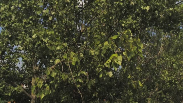 diving into an elm tree - aerial footage video