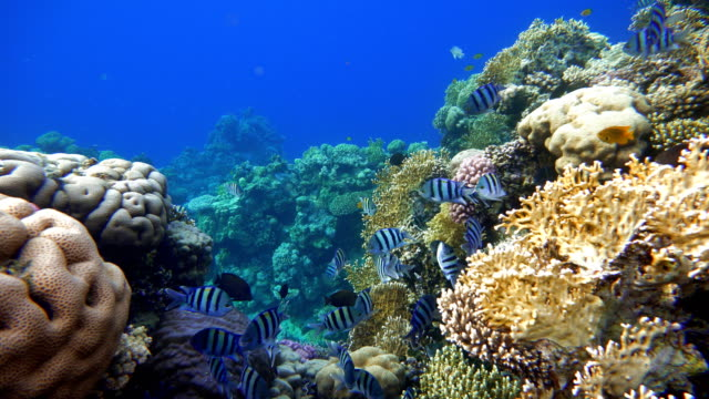 Diving. Tropical fish and coral reef. Underwater life in the ocean. video