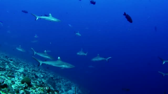 diving with whitetip reef sharks. underwater scenery - морская рыба стоковые видео и кадры b-roll