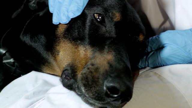 vídeos de stock, filmes e b-roll de doberman cachorro situa-se no colo de um veterinário close-up médico - felino