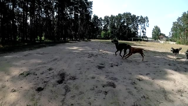 Doberman, Husky, Pointer play and running into each other video