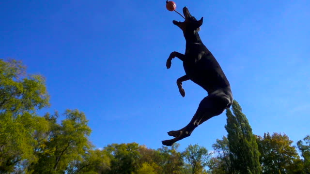 doberman jumping to the ball against blue sky - agilità video stock e b–roll