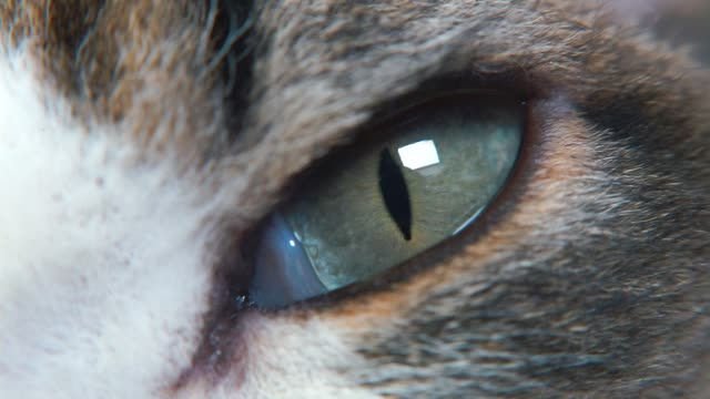 Doctor examines a cat eye in a veterinary clinic.