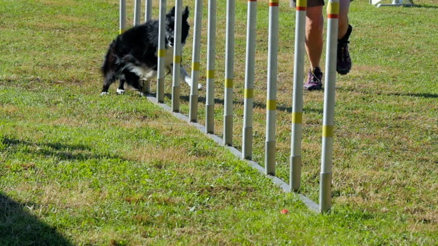 dog agility, weave poles dog in action in agility competition slow motion obedience stock videos & royalty-free footage