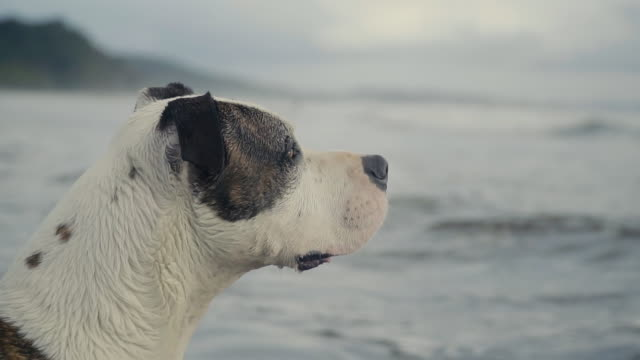 dog - american stafford terrier by the ocean, watching the water moving. - terrier video stock e b–roll