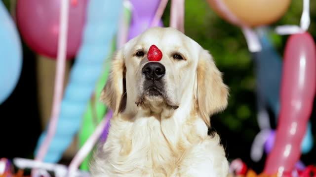 vídeos de stock, filmes e b-roll de cão de frutas silvestres e dieta. - tentação