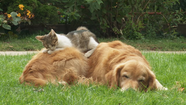HD: Dog and Kitten Resting On The Grass video