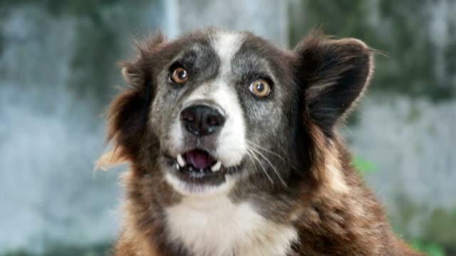 hund bark på oskärpa bakgrund - djurhuvud bildbanksvideor och videomaterial från bakom kulisserna
