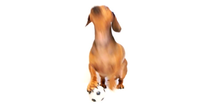 HD - Dog bark with a soccer ball video