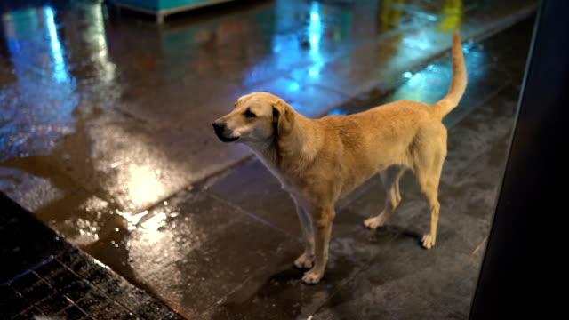 Dog barking at rainy night