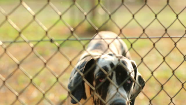 Dog barking behind fences. Great dane breed with taints barking to camera in 4k resolution video