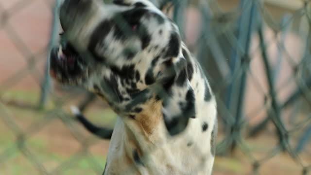 Dog barking behind fences in 4k resolution. Great dane pure bred dog safeguarding private property against alien intruders in 4k video