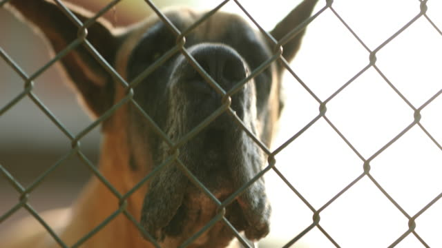 Dog barking locked behind fence. Great Dane breed barking against intruders in 4k clip resolution video