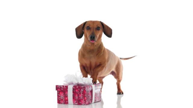4K - Dog barks. Dachshund with a gift box video