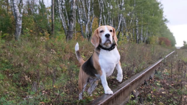dog Beagle on a walk in the autumn Park dog Beagle on a walk in the autumn Park in the evening hound stock videos & royalty-free footage
